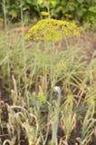 абстрактный цветок поля укропа глубины состава отмелый Стоковые Фото