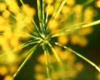 абстрактный цветок поля укропа глубины состава отмелый Стоковые Фотографии RF