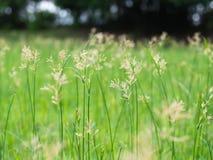Абстрактный цветок травы на луге Стоковые Фотографии RF