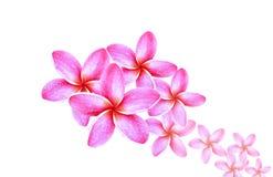 Абстрактный цветок Plumeria Стоковая Фотография RF