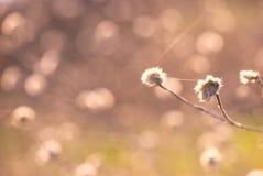 Абстрактный цветок thistle стоковая фотография