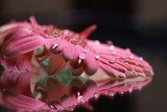 абстрактный gerbera маргаритки Стоковые Фото