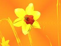 абстрактный narcissus Стоковое Фото