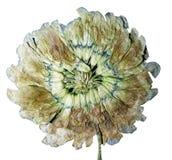 Абстракция отжатого цветка белого клевера Стоковые Изображения