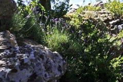 лаванда одичалая Стоковое Изображение RF