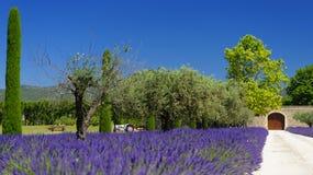 лаванда Провансаль поля Стоковая Фотография RF