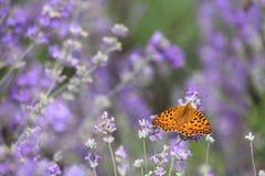 лаванда цветков бабочки Стоковые Изображения RF