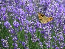 лаванда цветков бабочки Стоковая Фотография RF