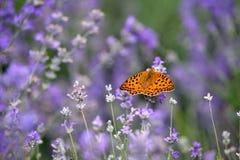 лаванда цветков бабочки Стоковые Фотографии RF