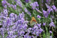 лаванда цветков бабочки Стоковое Изображение