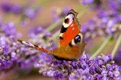 лаванда цветков бабочки Стоковые Изображения