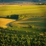 августовские виноградники v стоковое изображение rf