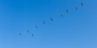 Авиаотряд пеликана Брайна Стоковые Изображения RF