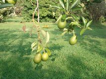 авокадоы гаваиские Стоковое Изображение RF
