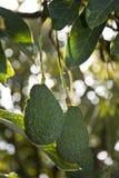 Авокадоы растя на дереве Стоковое Фото