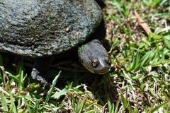 Австралиец черепахи родной с раковиной стоковые фото
