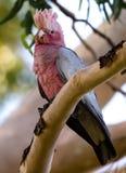 Австралиец Galah в евкалипте Tree-1 Стоковое Фото
