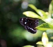 Австралийская бабочка вороны Стоковые Фото