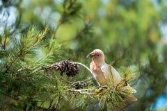 австралийская белизна cockatoo Стоковая Фотография RF