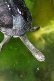 австралийская восточная родная necked черепаха змейки стоковое фото rf