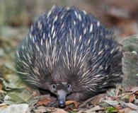 Австралийская ехидна или spiny муравьед, Квинсленд Стоковые Изображения RF