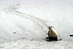 австралийская прогулка моря льва Стоковые Фотографии RF