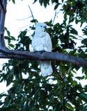 Австралийская родная сера crested попугай какаду в дереве Стоковые Изображения