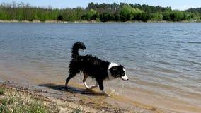 Австралийская собака чабана на реке видеоматериал