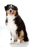Австралийская собака чабана Стоковые Изображения RF