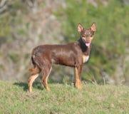 Австралийская собака щенка кэльпи бежать на полной скорости стоковое изображение