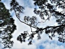 Австралийская сосна, Флорида стоковое изображение