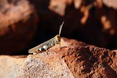 австралийская чума саранчука Стоковые Изображения