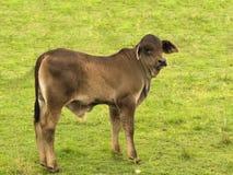 австралийские детеныши креста икры быка brahman младенца Стоковые Изображения