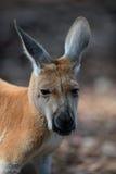 Австралийские кенгуру Стоковое Изображение