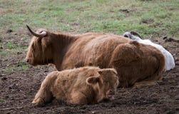 австралийские коровы Стоковая Фотография