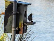 Австралийские общие птица myna и дом птицы стоковые изображения