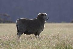 австралийские овцы Стоковая Фотография RF