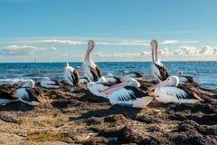 Австралийские пеликаны в Beaumaris, Виктории, Австралии стоковое фото