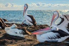 Австралийские пеликаны и парусники 3 стоковое фото rf