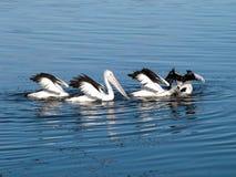 австралийские пеликаны озера стоковое изображение rf