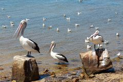 Австралийские пеликаны ослабляя в солнечном свете морем стоковые изображения rf