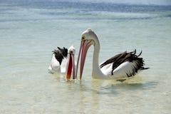 Австралийские пеликаны - остров Rottnest стоковые фото
