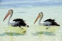 Австралийские пеликаны - остров Rottnest стоковое фото