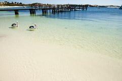 Австралийские пеликаны - остров Rottnest стоковая фотография rf