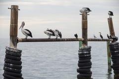 Австралийские пеликаны садясь на насест на ` s воды окаймляются на острове кенгуру стоковое фото rf