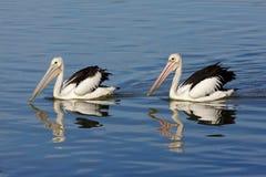 австралийские пеликаны Стоковые Изображения RF
