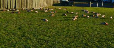 Австралийские птицы galah серого и розового какаду стоковые фотографии rf