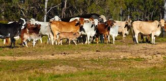 австралийские скотины говядины стоковое изображение
