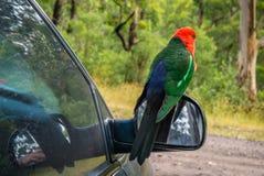 Австралийские scapularis Alisterus Корол-попугая parrot птица стоя на зеркале автомобиля Стоковые Изображения RF