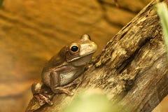 австралийский вал лягушки Стоковые Изображения